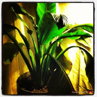 Our indoor banana plant... dying slowly...