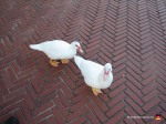04-central-park-ducks-bricks-new-york-funny