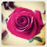 06-rose-blossom-instamatic-hipster-flower