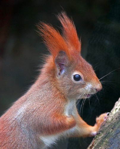 red squirrel in german