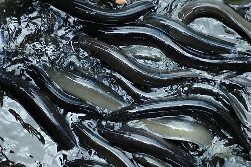 eel orgy