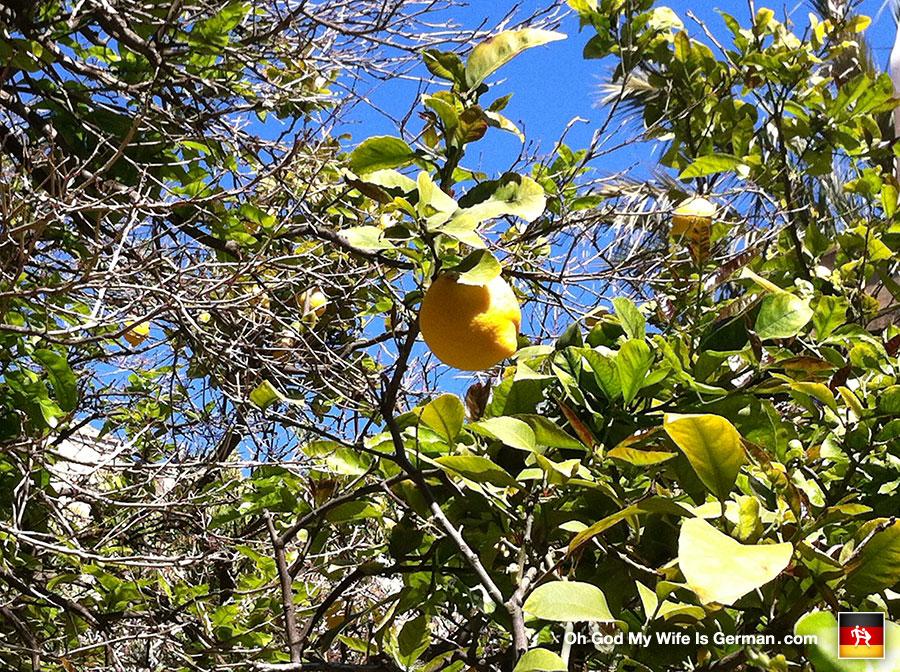 25-lemon-tree-palma-mallorca-spain-close-up