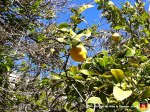 25-lemon-tree-palma-mallorca-spain-close-up