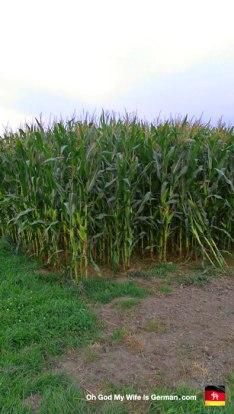 30-05-Steinhuder-Meer-Bike-Trail-Corn-Field-Crop