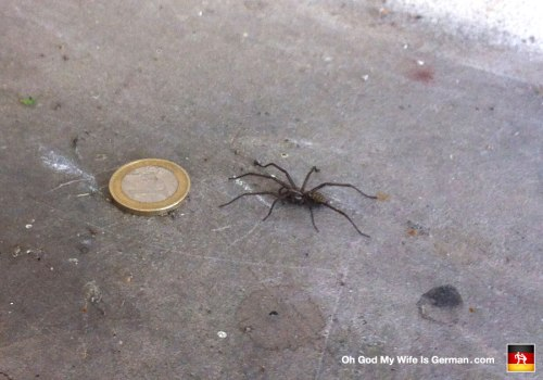 big-spider-in-germany-with-1-euro-coin