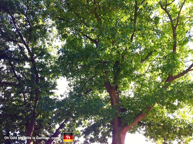 oak-trees-in-germany