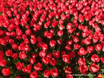 BOOM! Tulips so colorful they'll burn the eyes right out of your skull.