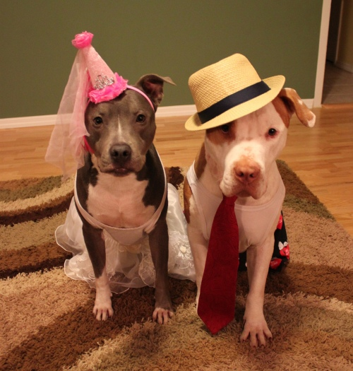 cute-pit-bulls-in-funny-costumes