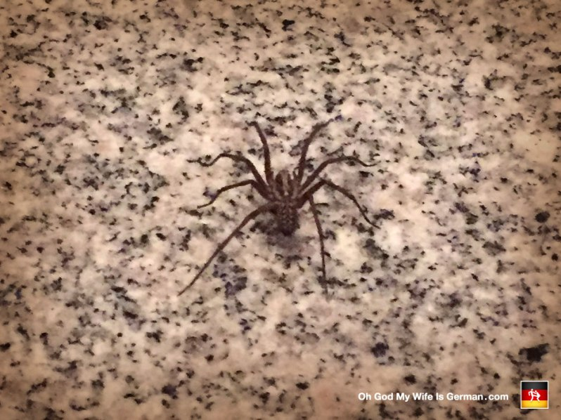 Giant German House Spider