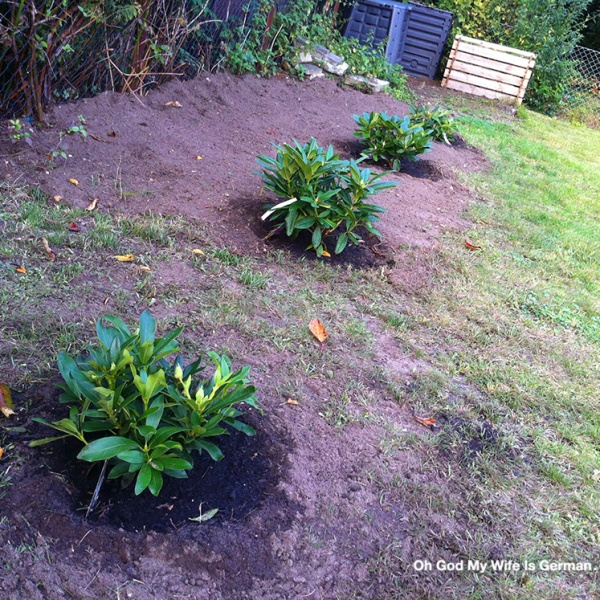 Planting-Growing-Baby-Rhododendrons-Germany