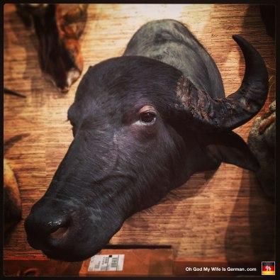 04-taxidermy-hunting-trophy-africa-cape-buffalo