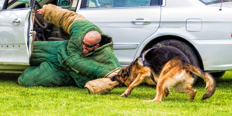 german-shepherd-police-security-dog-biting-twice-shy