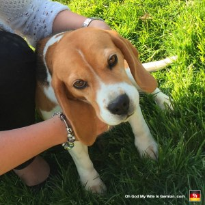 beagle-in-germany