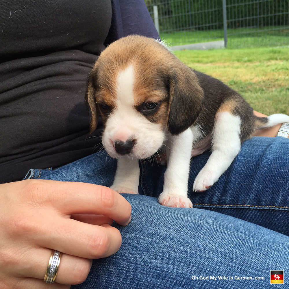 Beagle puppy 5 weeks old oh god my wife is german beagle puppy 5 weeks old voltagebd Choice Image