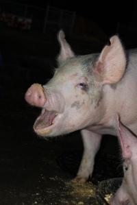 burp pig
