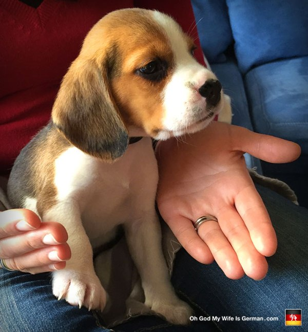 Our Beagle Puppy 7 Weeks Old