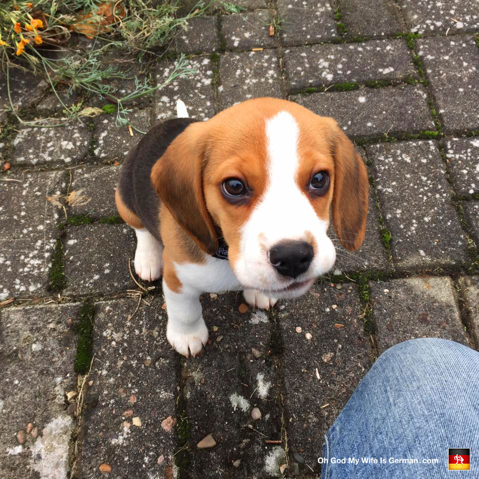 01 cute beagle puppy brown eyes oh god my wife is german 01 cute beagle puppy brown eyes voltagebd Image collections