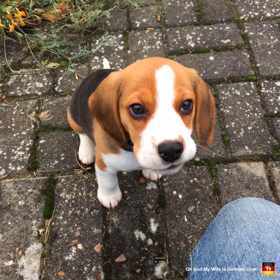 Fantastic Super Cute Beagle Adorable Dog - 01-cute-beagle-puppy-brown-eyes  Best Photo Reference_646059  .jpg?w\u003d528\u0026h\u003d528\u0026crop\u003d1