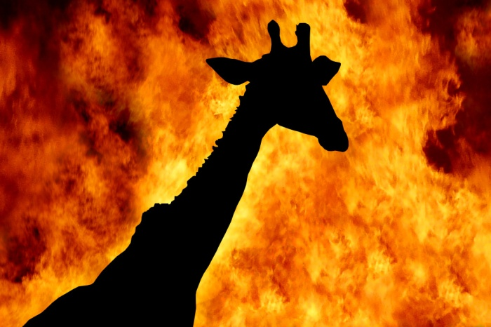 Giraffe-Burning-in-Hell-Fire-Africa