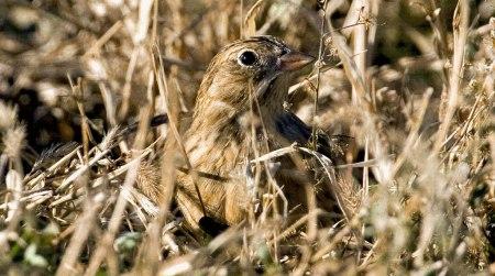 ground-nesting-bird