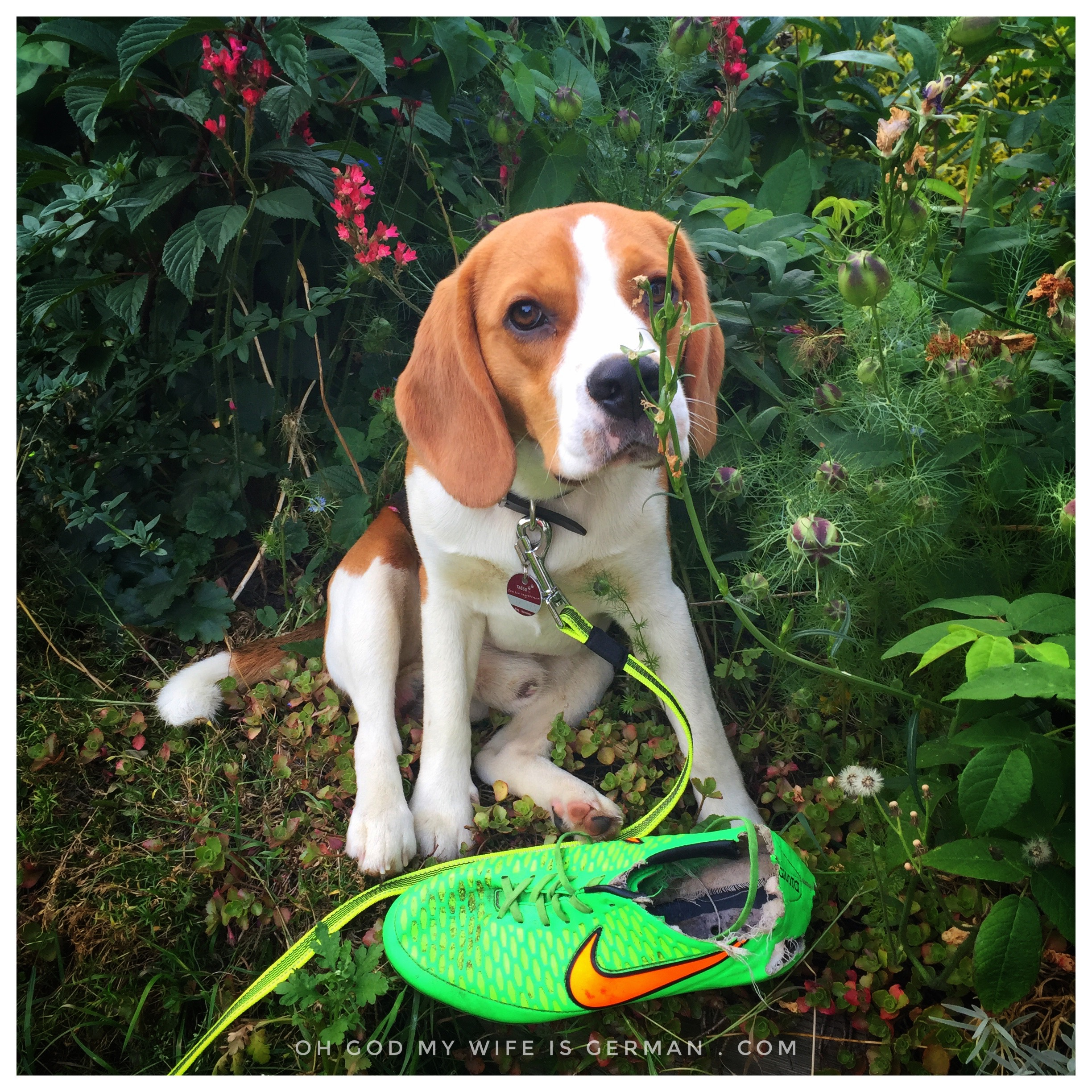01 Cute Beagle Puppy Eating Shoe Oh God My Wife Is German