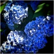 29-beautiful-blue-purple-Hydrangea-close-up