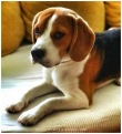 37-beagle-cute-puppy